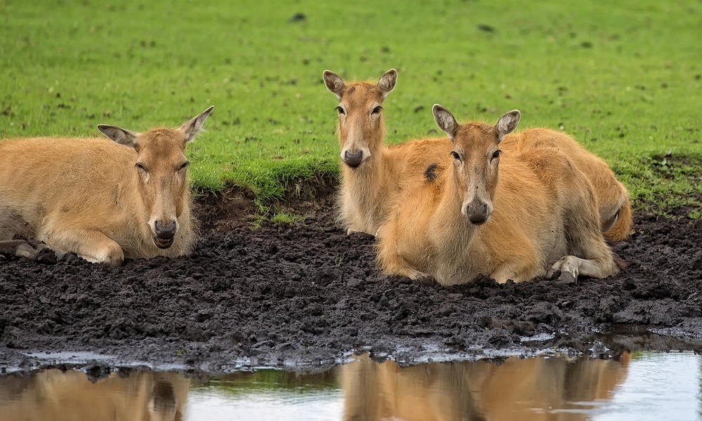 Female Pere David's Deer