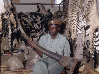 Ranger holding a huge confiscated rhino horn