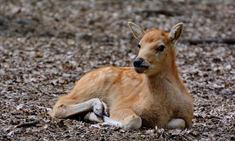 Baby Pere David's Deer