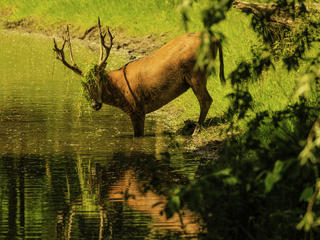 Pere David's Deer with grass in antlers