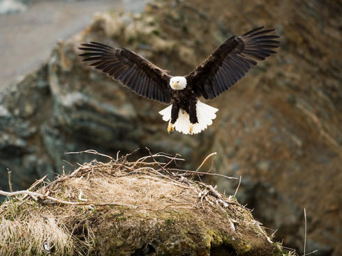A Bald Eagle with a nest on rocky bluffs in Bristol Bay.