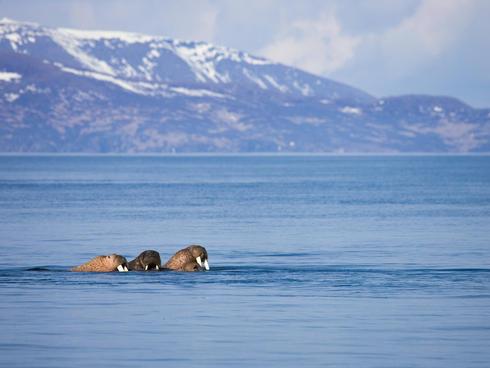 Pacific walrus in Bristol Bay.