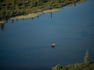 Aerial view of a moose in Bristol Bay