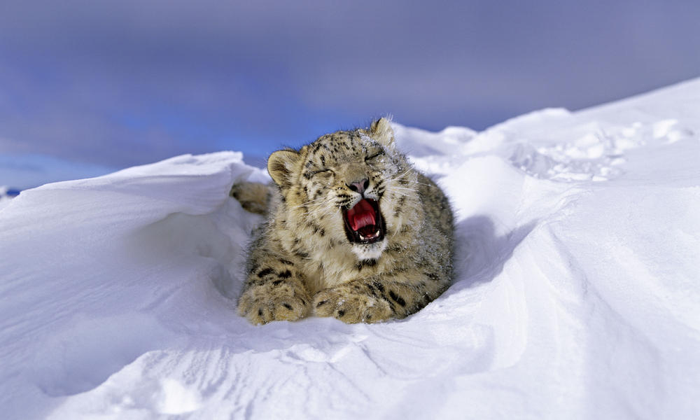 A snow leopard cub lying in the snow yawning