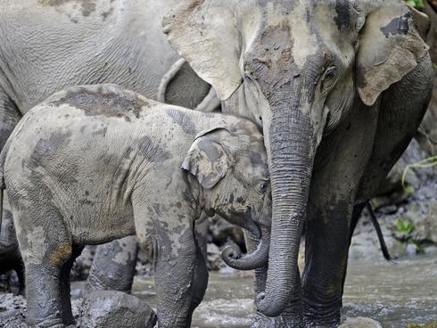 Myanmar Elephant Restricted Campaign