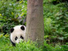 Peek   giand panda cub  bifengxia panda base  sichuan  china  2014   4cn14 9263