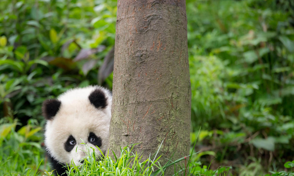 A panda peeking around a tree