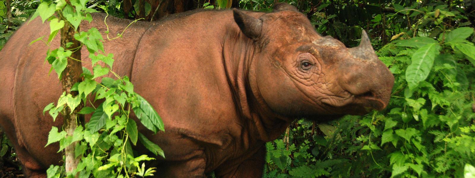 sumatran rhino species wwf