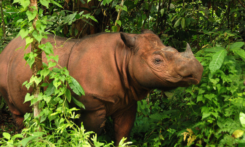 Photo 1 sumatran rhino 3 %28c%29 bill konstant international rhino foundation