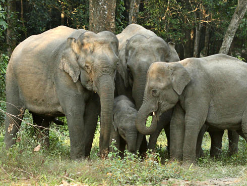 Adult female Asian elephants surrounding and tending to one of their young