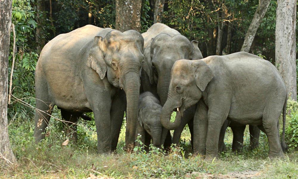 Asian elephants dipankar ghose
