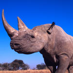 Black rhino shot from an upward angle against a bright blue sky