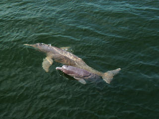 Pink river dolphin and calf.