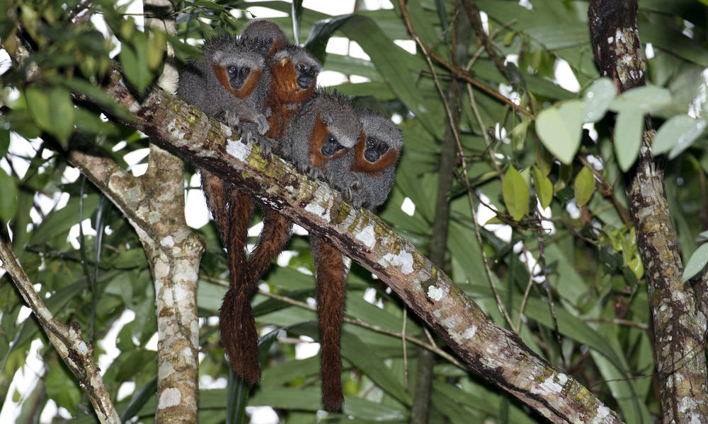 Fire-tailed titi monkeys on a tree branch.