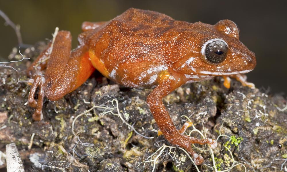 A bright orange frog