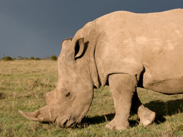 Rhino with a rainbow in the background.