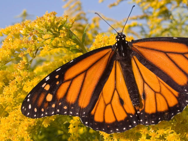 Male Monarch Butterfly feeding on flower