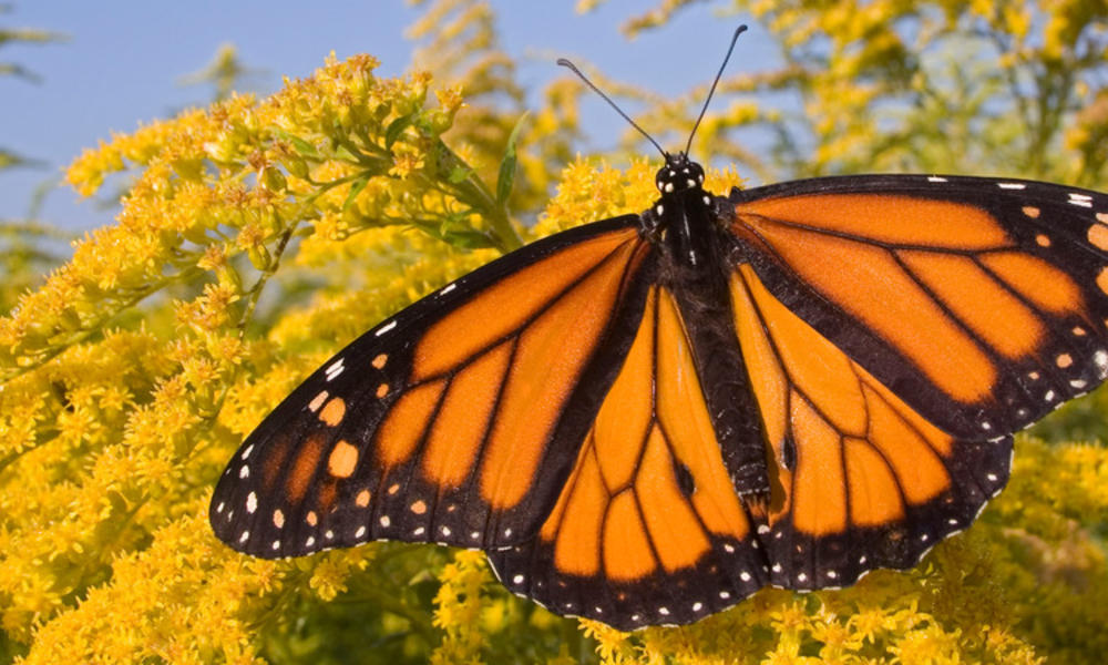 Male Monarch Butterfly feeding on flower