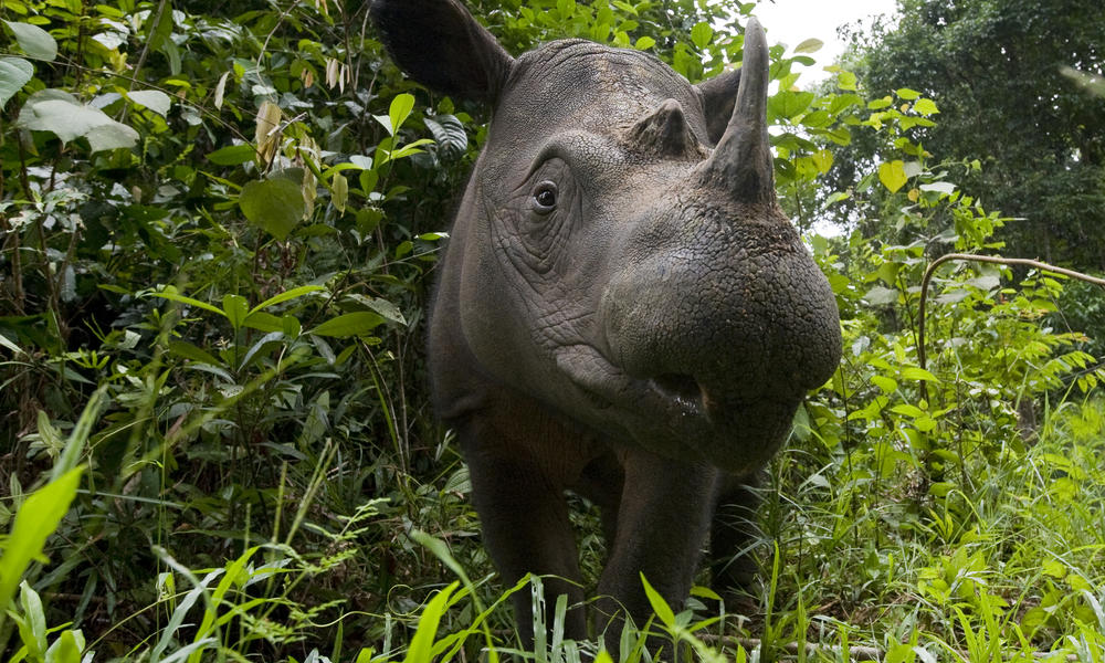 Sumatran rhino 8.6.2012 what wwf is doing xl 279135