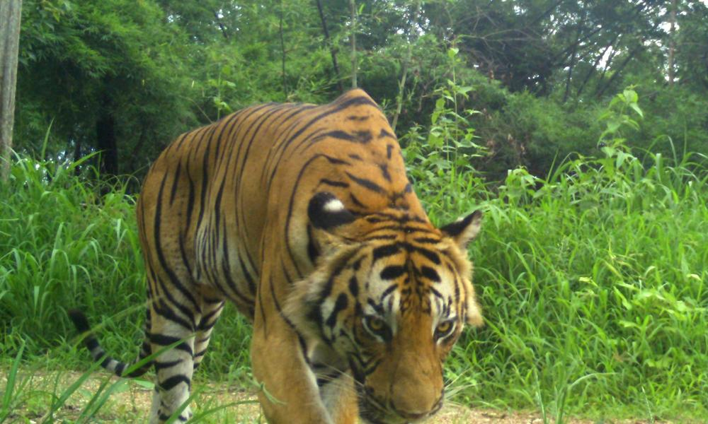 Adult tiger captured on a camera trap.