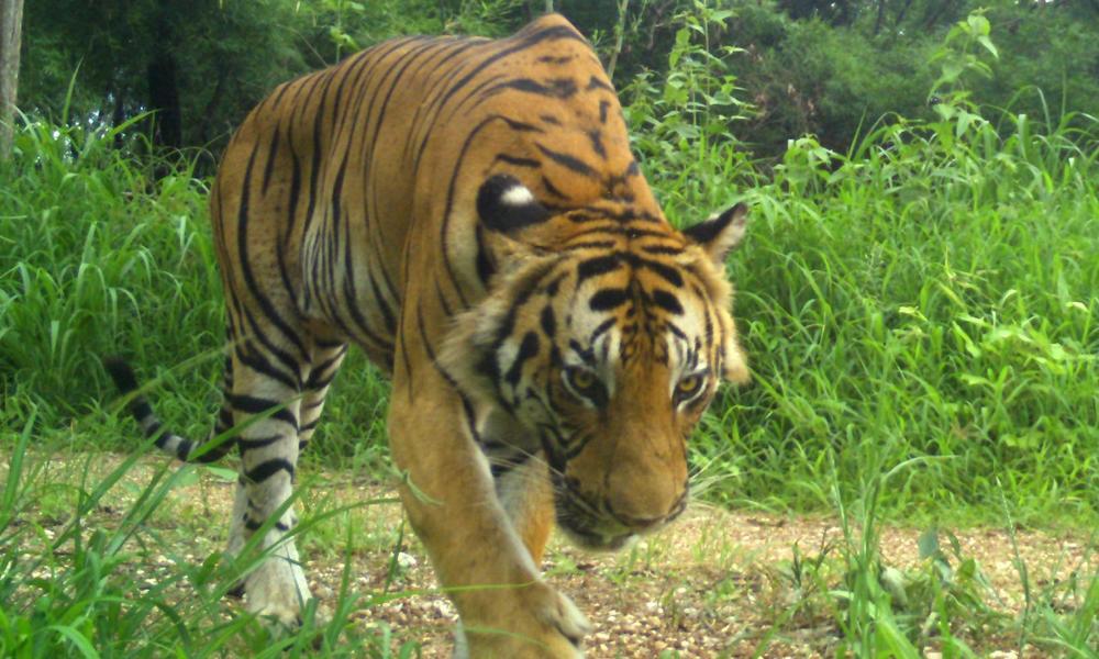 Mw tiger 2016