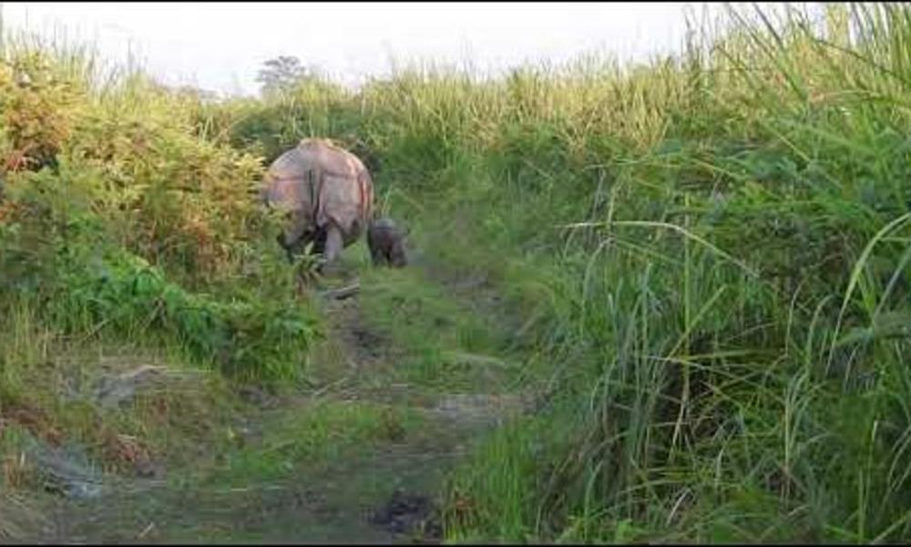rhino and calf walk in Manas