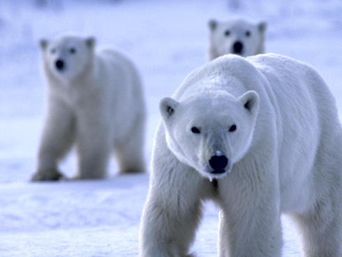 Polar Bears in snow