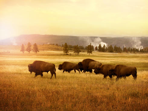 Herd of bison in a sunset plain