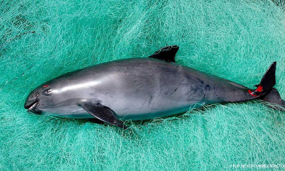 vaquita entangled in net