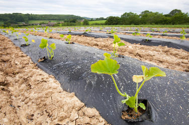 Courgettes growing at Washingpool farm in Bridport, Dorset. The Farm rears livestock and grows food and vegetables for sale in their farmshop, cutting down on food miles.