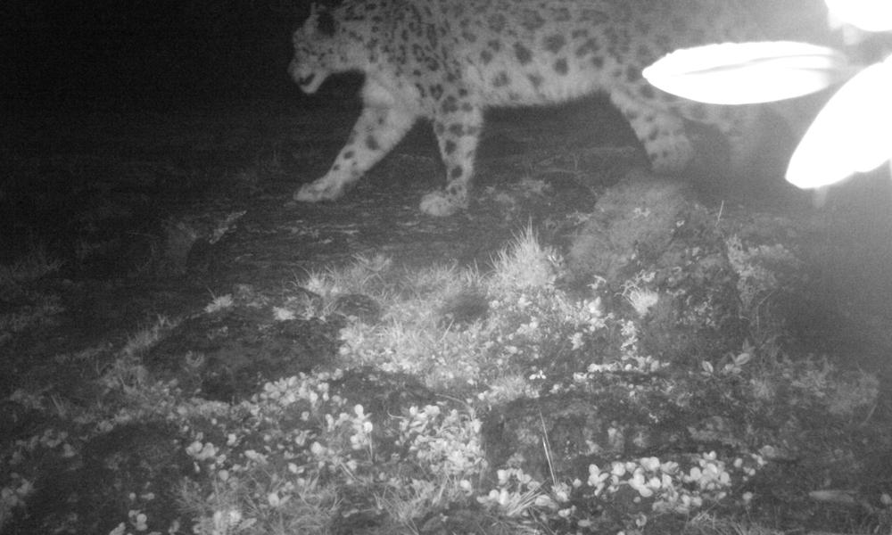 Camera trap image of snow leopard from western arunachal pradesh