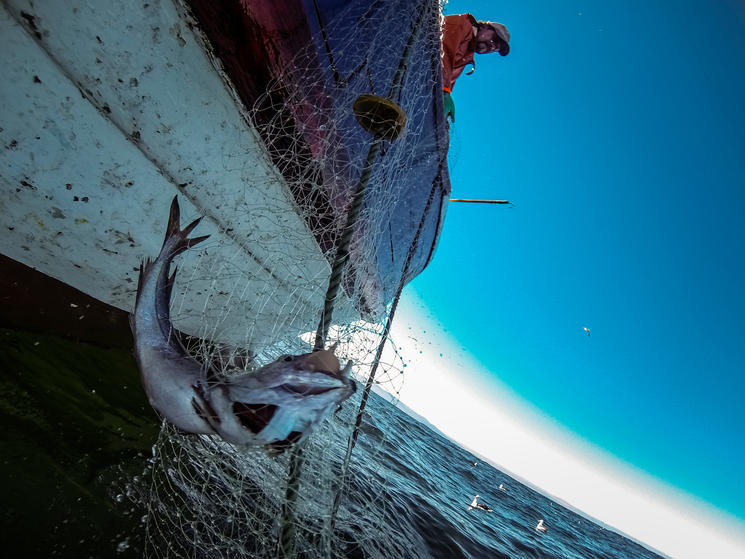 A fisherman hauls a fish onto a boat
