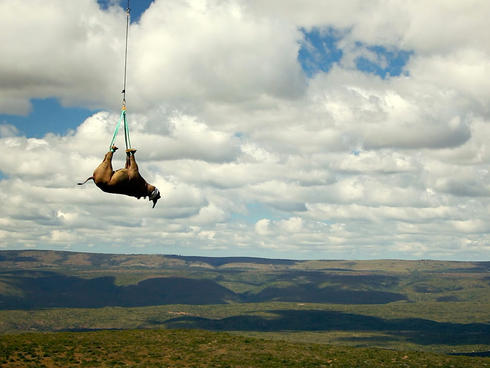 A tranquilized black rhino is suspended from a helicopter in the Eastern Cape province, South Africa