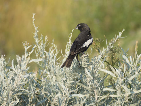 lark bunting sitting on a bush