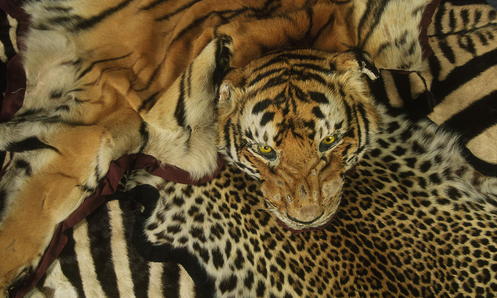 Image of: Illegal Illeagal Wildlife Trade World Wildlife Fund Illegal Wildlife Trade Threats Wwf