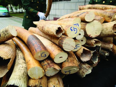 Smuggled ivory seized in Zhuhai, China