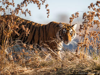 tiger in tall grass