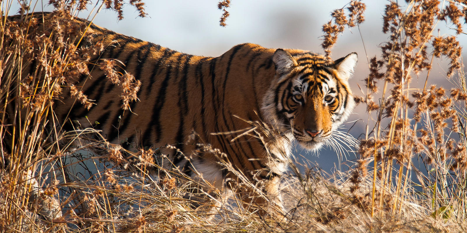 4 Unseen Benefits Of Protecting Tigers And Their Habitat Stories Wwf