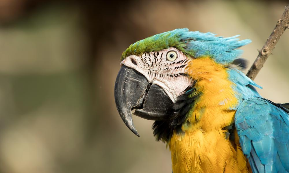 Heritage Colombia  Nathab  Macaw