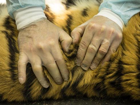 Pavel Fomenko examines body of dead female tiger