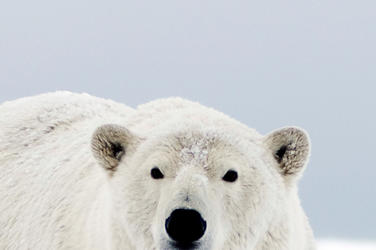 Medium_WW22779?1513098037 polar bears and climate change pages wwf