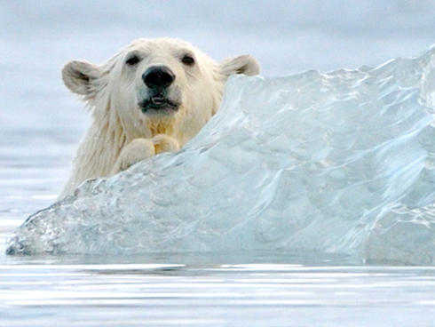 polar bears playing around an iceberg
