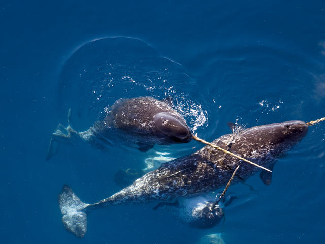 A group of narwhals swimming together
