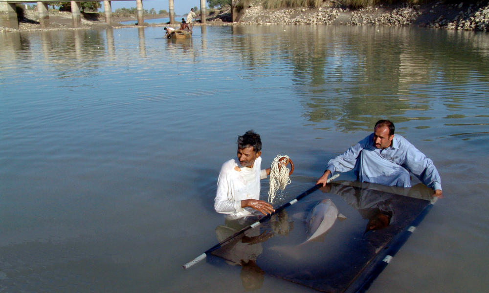 Rescuing an Indus river dolphin