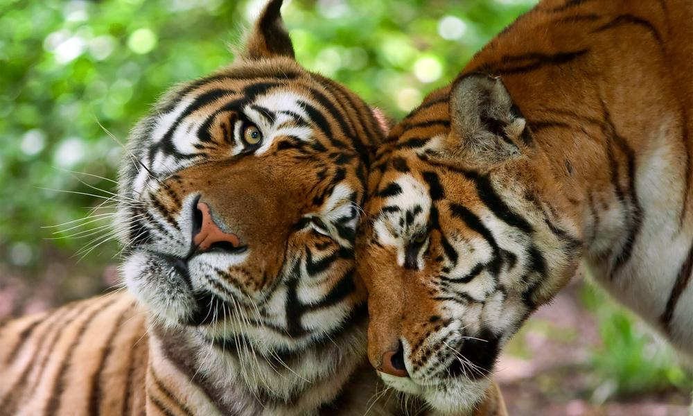 Two tigers male and female