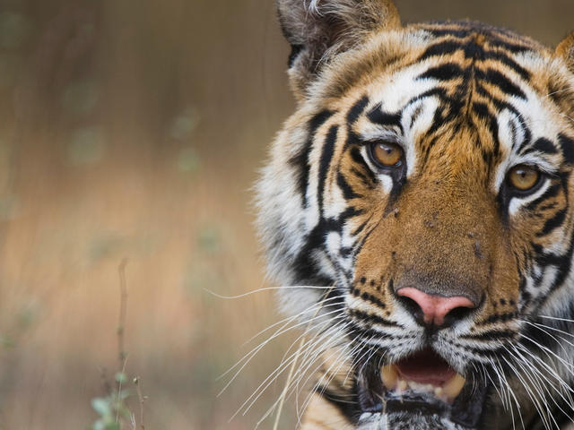 Where Do Tigers Live And Other Tiger Facts Stories Wwf