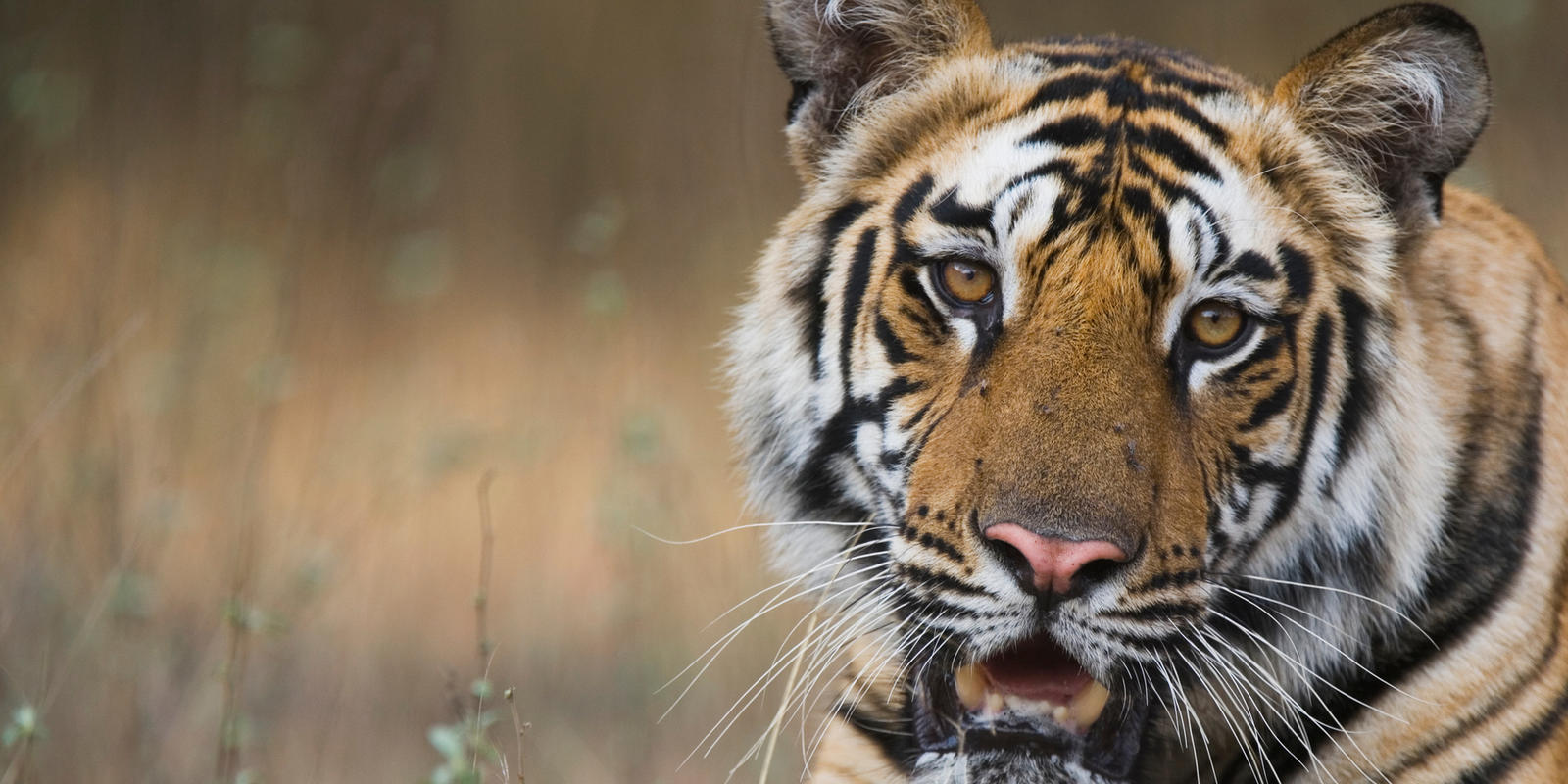 Where do tigers live? And other tiger facts | Stories | WWF