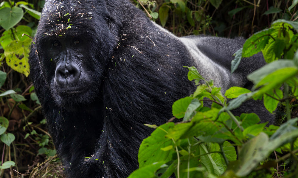 Male gorilla in the forest