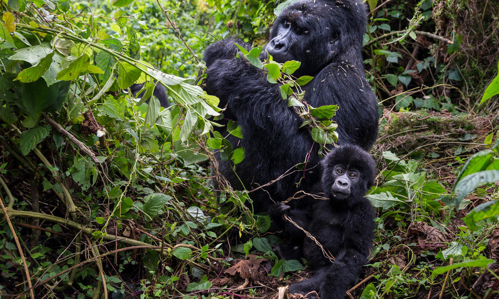 male gorilla and baby