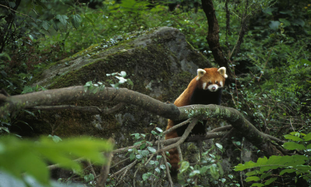 red panda in the trees